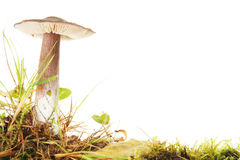 Large toadstool Stock Images