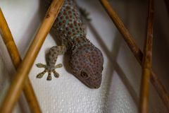 A large Tokay Gecko sitting in the wall. Royalty Free Stock Image