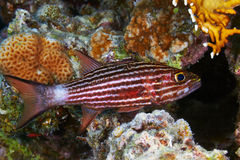 Large-toothed cardinalfish Stock Photography