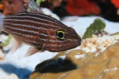 Large toothed cardinalfish. Cheilodipterus macrodon underwater in the tropical coral reef of the Maldives Royalty Free Stock Photos