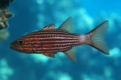 Large toothed cardinalfish Royalty Free Stock Photos