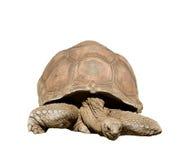 Large Tortoise Royalty Free Stock Images