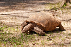 Large Tortoise Stock Photo
