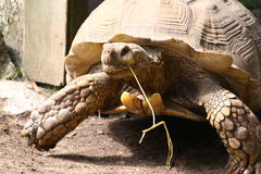 Large tortoise. With a string in its mouth Royalty Free Stock Image