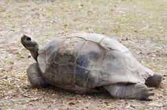 Large tortoise Stock Photography