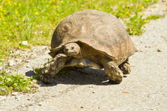 Large tortoise Royalty Free Stock Photo