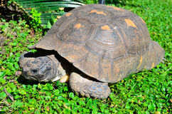 Large tortoise Royalty Free Stock Photos