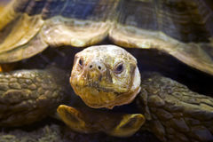 Large tortoise looks thoughtfully through the camera Stock Photography