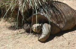 A large tortoise sheltering under a clump of grass. Stock Photo