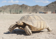 Large tortoise walking in the desert Stock Image