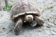 Large tortoise in the wild moves on dry land Royalty Free Stock Photos