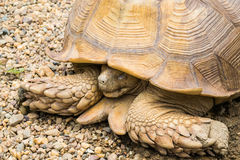 Large tortoises are sleeping Royalty Free Stock Photos