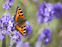 Large Tortoiseshell Butterfly on Lavender Flower Stock Photos