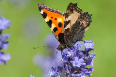 Large Tortoiseshell on lavender flower. Large Tortoiseshell (Nymphalis polychloros) on lavender flower royalty free stock photos