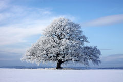 Large tree. Large nice oak in a snowy field in winter time Royalty Free Stock Photo