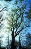 Large tree royalty free stock image