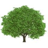 Large tree. Isolated on a white background Stock Photo