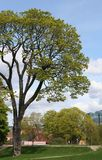 Large tree. A large tree with the city skyline of Oslo in the background Royalty Free Stock Photo