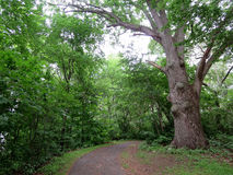 Large tree along path in the woods Royalty Free Stock Images