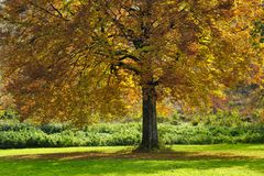 Large tree with autumn leaves Stock Photos