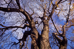 Large tree with bare branches Stock Images