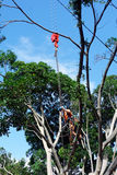 A Large Tree Being Pruned. A very large tree being pruned with a chainsaw, with the technician supported by a safety chain and harness hanging from a crane Stock Image