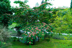 A large tree of a blossoming acacia in the park Stock Image