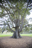 Large tree in botanical garden, Sydney, Australia Royalty Free Stock Images