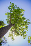 Large tree Royalty Free Stock Photo
