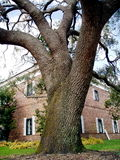 Large tree and building. Details of a large, old tree with brick building in the background royalty free stock photography