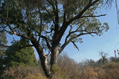LARGE TREE IN THE BUSH Stock Photography