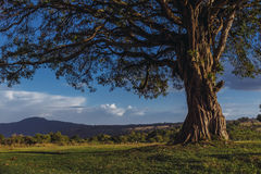 A large tree at a camp site Stock Photography