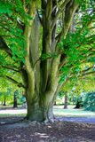 Large tree in Christchurch Botanic Garden, New Zealand Royalty Free Stock Images
