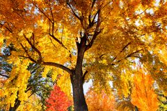 Large tree with colorful autumn leaves Stock Image