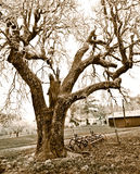 Large Tree on Country Farm in Sepia Tones Royalty Free Stock Photos
