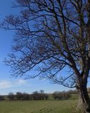 Large tree at Crookham, Northumberland, England. UK. Large tree with deep blue sky at Crookham, Northumberland, England. UK Royalty Free Stock Photography