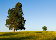 Large tree dominates small tree on hillside Stock Photo