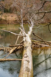 Large Tree Fallen Into River Stock Images