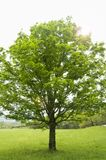 Large tree with flare Stock Photography