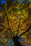 Large tree in forest in Autumn. Colorful tree in forest in Autumn Royalty Free Stock Photography