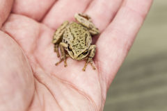 Large Tree Frog in Open Hand Royalty Free Stock Images