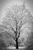 Large tree in frost Stock Images