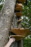 Large tree fungi with hand to denote size Royalty Free Stock Images