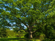 Large tree in garden Stock Images