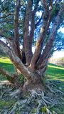 Large Tree with Gnarly Roots. Large tree with gnarly exposed roots surrounded by green grass and sunshine in Wellington, New Zealand Stock Photo