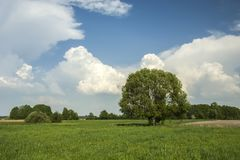 Large tree in the green meadow and white clouds in the sky
