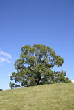 Large tree on hill Royalty Free Stock Images