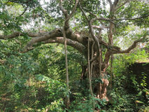 A large tree in the jungle Stock Images