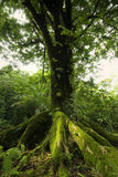 Large tree in the Ke'anae Arboretum, Maui, Hawaii Royalty Free Stock Photo