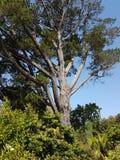 Large tree. Arthur& x27;s seat botanical gardens Victoria Australia seawinds royalty free stock image